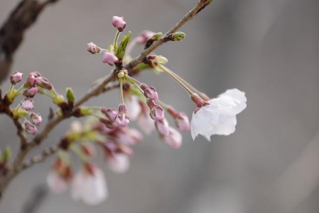 千里川の桜11