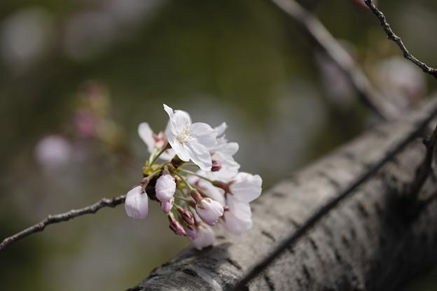 千里川の桜10