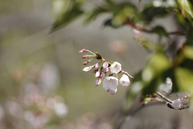 千里川の桜09