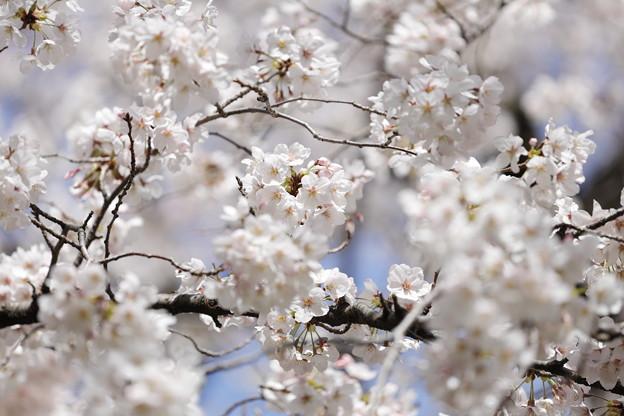 千里川の桜07