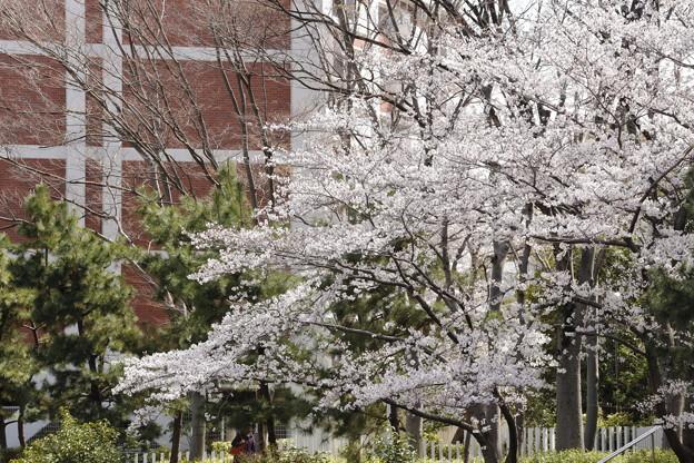 千里川の桜06