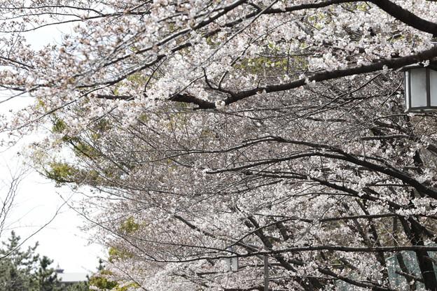 千里川の桜05