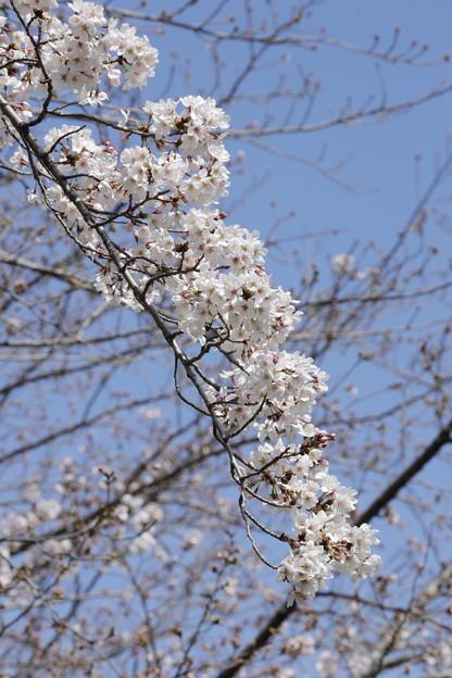 千里川の桜04