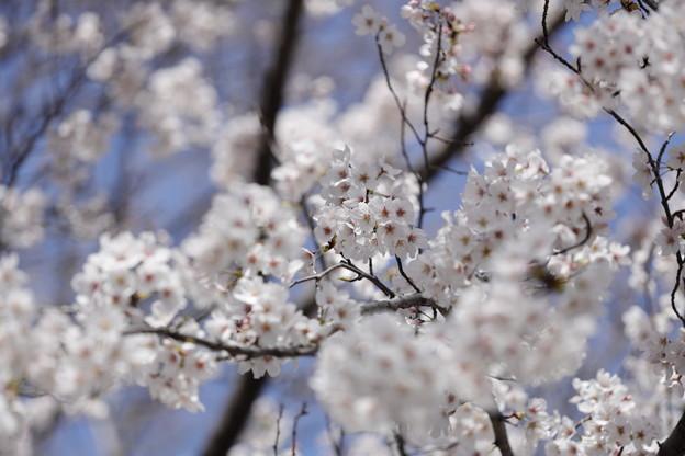 千里川の桜03