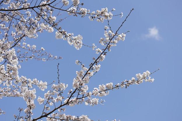 千里川の桜02