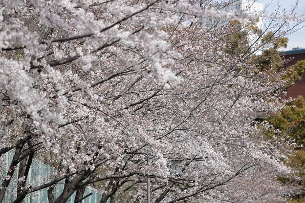 千里川の桜01