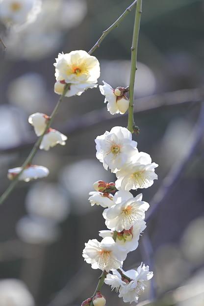 大阪城公園梅林18