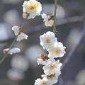 Photos: 大阪城公園梅林18