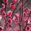 Photos: 大阪城公園梅林16