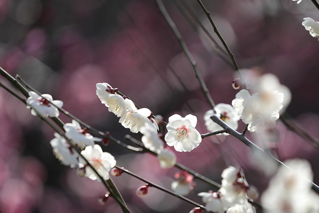 大阪城公園梅林14