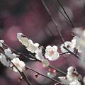 Photos: 大阪城公園梅林14