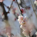 Photos: 大阪城公園梅林08