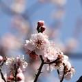 Photos: 大阪城公園梅林07
