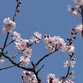 Photos: 大阪城公園梅林06