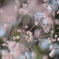 Photos: 大阪城公園梅林01