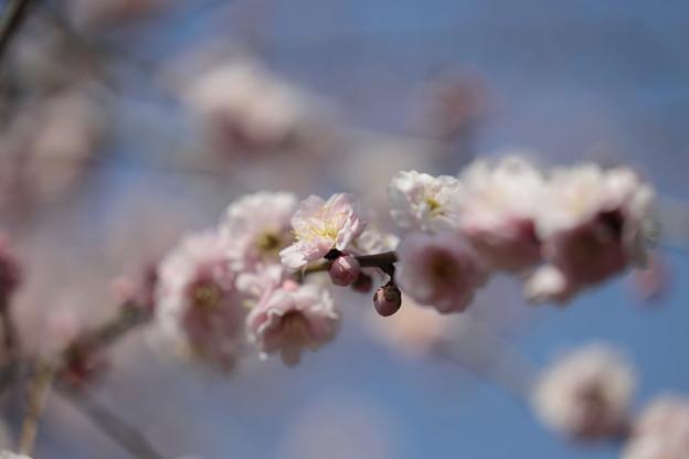 Photos: 大阪城公園梅林03