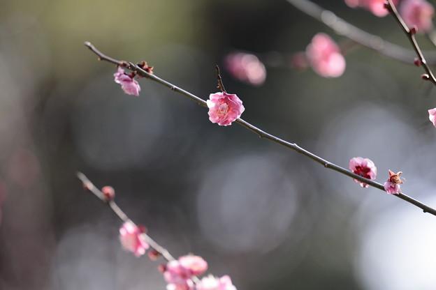 大阪城公園梅林15