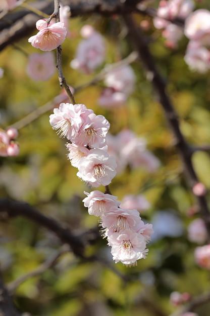 大阪城公園梅林23
