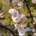 Photos: 大阪城公園梅林23