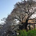 市原市 里見 与市郎桜