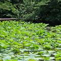 鶴岡八幡宮のハス