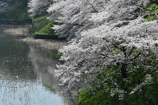 九段下近くの桜