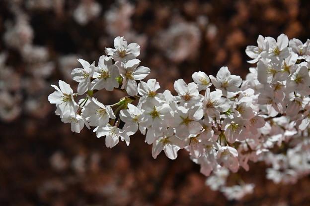 Photos: 夜桜