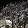 駅前のロータリーの桜
