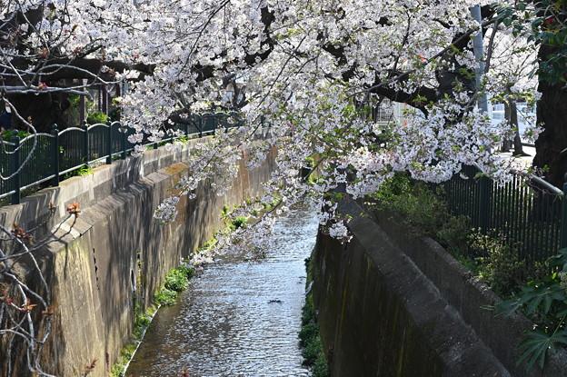Photos: 桜と小川