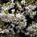 Photos: ライトアップされた桜