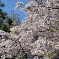 桜、思川という品種らしい