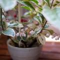 写真: ヤブコウジの花