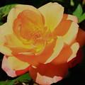 秋薔薇01
