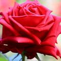 平和公園の薔薇01