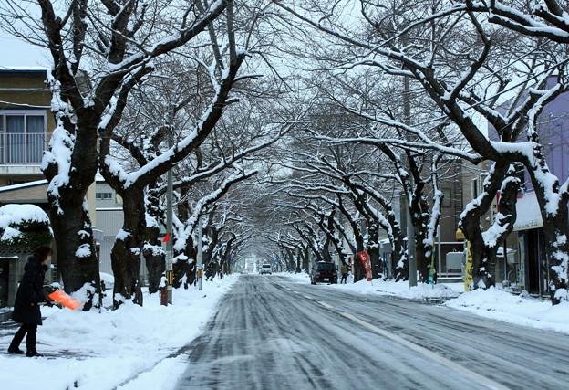 桜トンネルの雪景色