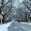 Photos: 桜トンネルの雪景色
