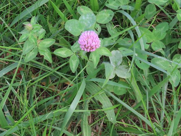 ピンク色の花IMG_0421