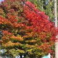 Photos: 紅葉IMG_0485