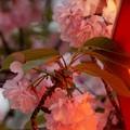 夜桜造幣局