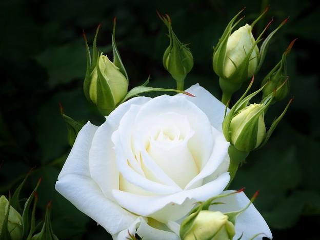 バラ ホワイトウイング