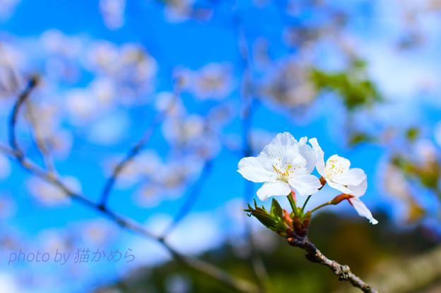 Photos: ファインダー越しに見える桜