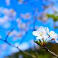 ファインダー越しに見える桜