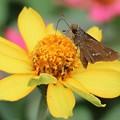 写真: 花とセセリン