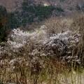雑木林で咲く桜風景