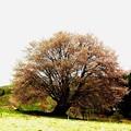 天王桜1(オオヤマザクラ)