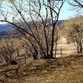 宝登山の蝋梅風景1