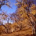 写真: 宝登山の蝋梅風景2