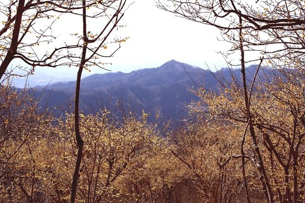 宝登山の蝋梅風景7