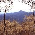 写真: 宝登山の蝋梅風景7