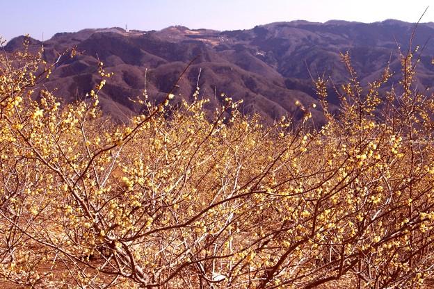 写真: 蝋梅と山風景